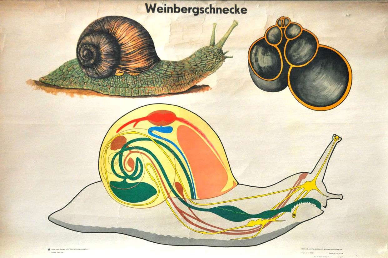 Vintage Poster of Snail, artistically illustrating the internal structure of the body.