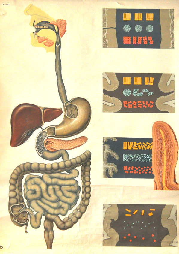 Vintage  Educational Poster- 'Human Digestive System' (1970's)